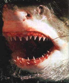 sharkteeth.jpg