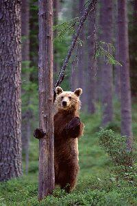 brown-bear-standing-em