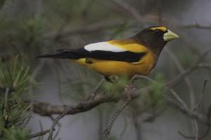 birdie-eveninggrosbeak
