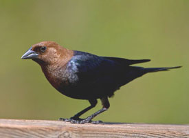 cowbird_brown_headed