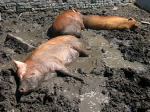 pigs-in-mud