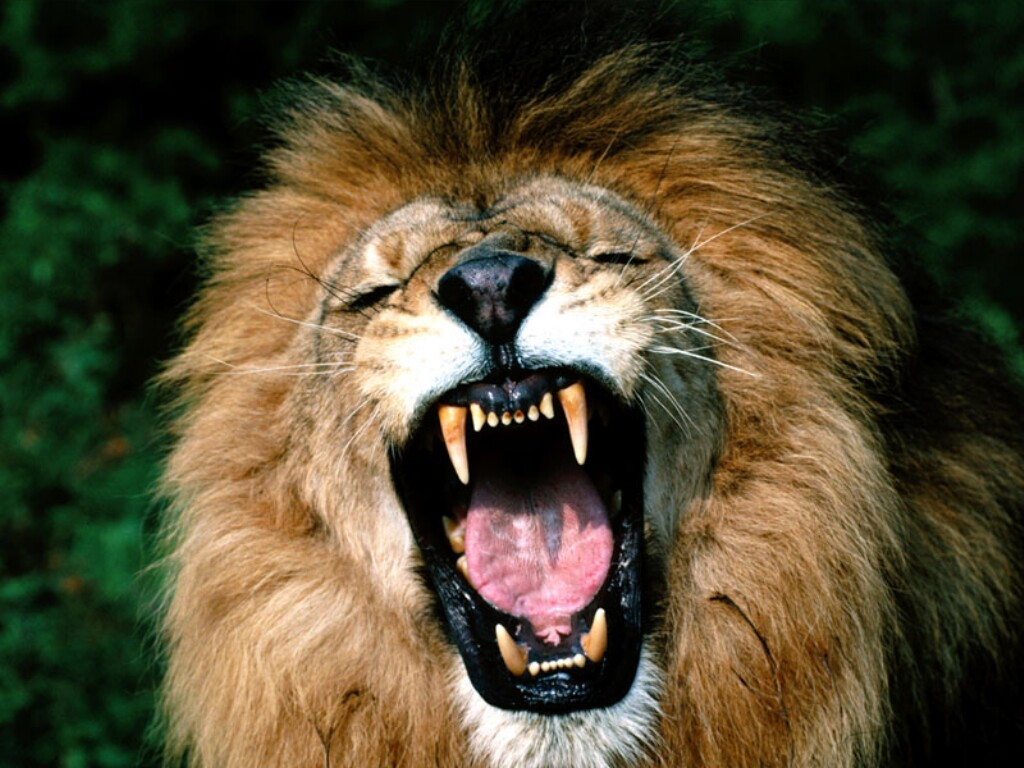 lion-roaring-african-lion