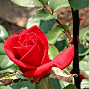 rosethorns