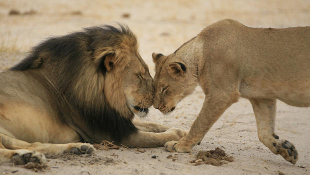 cecil-and-lioness-brent-stapelkamp