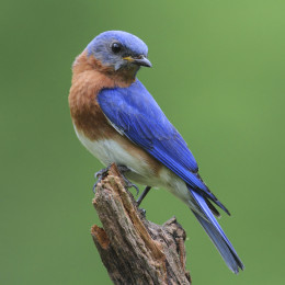 Male Eastern Bluebird (Sialia sialis) on a stump with a green background