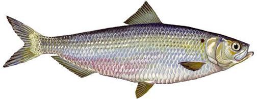herring_river